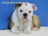 Gorgeous English Bulldog puppies availab