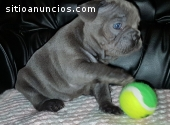 Gorgeous French bulldog puppies availabl