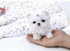 gorgeous Healthy Tea Cup Maltese puppies