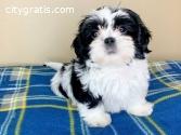 Gorgeous Teacup Shih Tzu Puppies