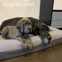 Great Dane puppies for Re-homing