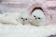 healthy teacup pomeranian puppies