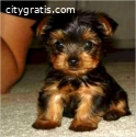 High Quality Male And Female Yorkie Pupp