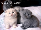 ..House Trained Scottish Fold Kittens Fo