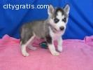 IUsgs Home Raised Siberian Husky Puppies