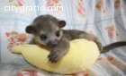 Kinkajou Babies In need of Home