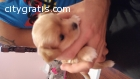 little cute female chihuahua for sale