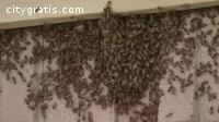 Live Bee Removal Houston | Budget Bee Co