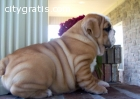 Lovely  English Bulldog Pups Available