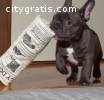 male and female blue french bulldog pupp