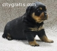 Male and Female German Rottweiler Puppie