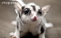 Male and female Sugar Gliders available