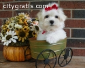 Male and female tea cup maltese puppies
