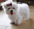 Male and Female Teacup Maltese Puppies