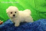 Maltese puppies available!