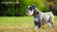 Miniature Schnauzer Puppies for Sale - C
