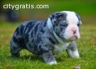 New Litter- Ultimate English Bulldogs PU