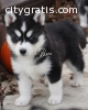 Nice and vet Siberian huskies ready now