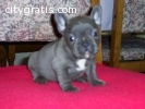 nice looking french bull dog puppies rea