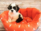 nice looking shih tzu puppies ready now
