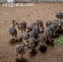 Ostrich Chicks,eggs And Feathers For Sal