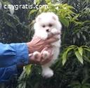 Pomeranian Puppies available...