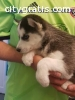 Pomsky and Siberian Husky Puppies
