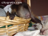 Primates available for good and caring f
