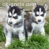 Purebred Blue Eye Siberian Husky Puppies