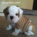 Purebred English Bulldog puppies for Re-