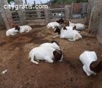 Quality Boer Goat