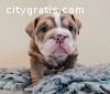 Quality Kc Bulldog Puppies For Sale