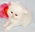 Registrado gatito rojo persa macho