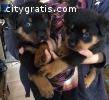Rottweiler puppies .