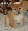 Shiba inu  puppies for good home