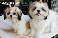 Shih Tzu Puppies for Sale - Central Park