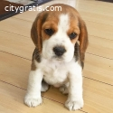 Stunning tri-coloured beagle puppies