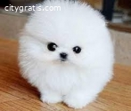Super Cute Pomeranian puppies for Re-hom