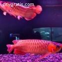 Super Red Arowana,Albino Stingray fish f