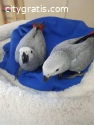 Sweet and lovely African grey parrots fo
