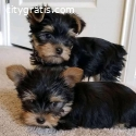 sweet Yorkie puppies ready for their new