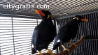 Talking and singing hill mynah Birds