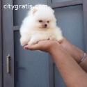 Teacup boo Pomeranian