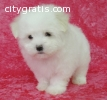 Teacup Maltese Pups Available