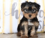 Teacup Yorkie Puppies for sale Text :(55