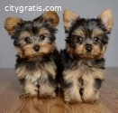 Teacup Yorkie Puppies for sale