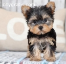 Teacup Yorkie Puppies for sale \