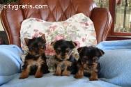 Teacup Yorkie puppies