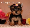 Teacup Yorkies for re-homing..(646) 439-