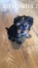 Teacup Yorkshire Pups (701) 352-7409